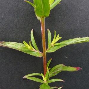 Photographie n°34661 du taxon Epilobium tetragonum subsp. tetragonum