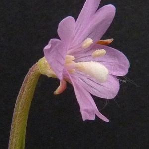 Photographie n°34662 du taxon Epilobium tetragonum subsp. tetragonum