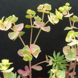Photographie n°34664 du taxon Euphorbia cyparissias L. [1753]