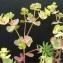 Bertrand BUI - Euphorbia cyparissias L. [1753]