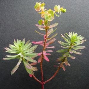 Photographie n°34665 du taxon Euphorbia cyparissias L. [1753]