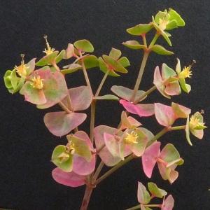 Photographie n°34666 du taxon Euphorbia cyparissias L. [1753]