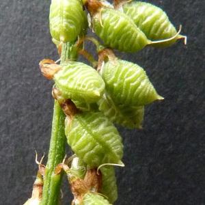 Photographie n°34671 du taxon Melilotus officinalis (L.) Lam. [1779]