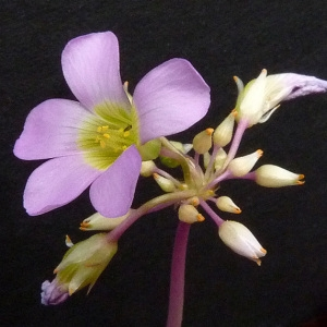 Oxalis latifolia Kunth (Oxalide à larges feuilles)