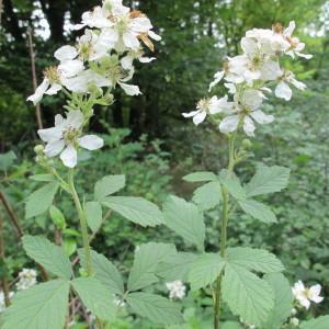 Photographie n°34685 du taxon Rubus canescens DC.