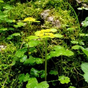 Photographie n°34769 du taxon Chrysosplenium alternifolium L.