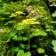 Didier GACHON - Chrysosplenium alternifolium L.