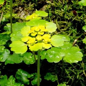 Photographie n°34770 du taxon Chrysosplenium alternifolium L.