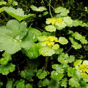 Photographie n°34771 du taxon Chrysosplenium alternifolium L.