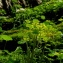 Didier GACHON - Chrysosplenium alternifolium L. [1753]