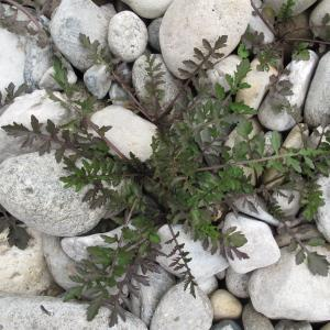 Photographie n°34884 du taxon Rorippa sylvestris (L.) Besser