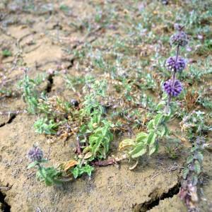 Photographie n°34945 du taxon Mentha pulegium subsp. pulegium