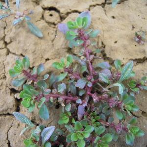 Photographie n°34950 du taxon Lythrum portula (L.) D.A.Webb