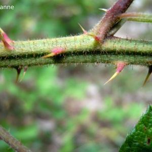 Rubus leightonii Lees ex Leight.