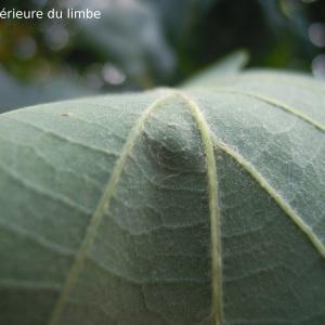 Quercus x streimeri Heuff. ex Freyn (Chêne)