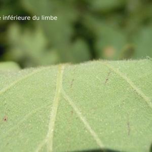 Photographie n°34995 du taxon Quercus pubescens Willd. [1805]