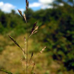 Agrostis vinealis Schreb. (Agrostide des sables)