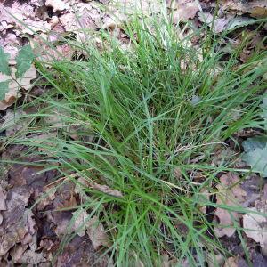 Photographie n°34999 du taxon Carex ovalis Gooden. [1794]