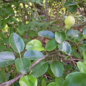 Photographie n°35003 du taxon Pyrus communis L.