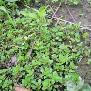 Photographie n°35036 du taxon Lythrum portula (L.) D.A.Webb