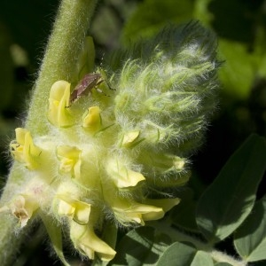 Astragalus alopecurus Pall. (Astragale centralpin)
