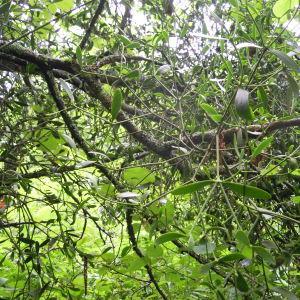 Photographie n°35073 du taxon Viscum album subsp. album