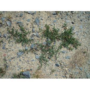 Polygonum aviculare subsp. depressum (Meisn.) Arcang. (Renouée des graviers)