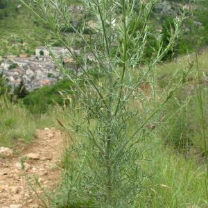 Photographie n°35139 du taxon Centaurea stoebe L. [1753]