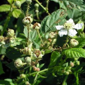 Photographie n°35204 du taxon Rubus x uncinellus P.J.Müll. & Lefèvre [1859]