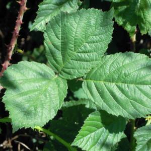 Rubus x uncinellus P.J.Müll. & Lefèvre (Ronce)