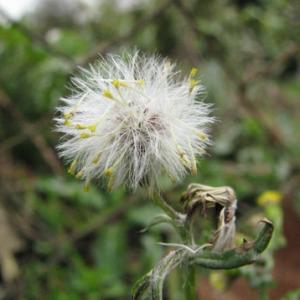 Photographie n°35260 du taxon Senecio vulgaris L.
