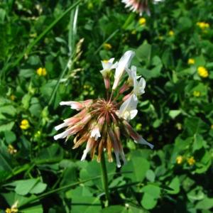 Photographie n°35278 du taxon Trifolium repens L. [1753]