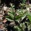 Catherine MAHYEUX - Pulsatilla vernalis (L.) Mill. [1768]