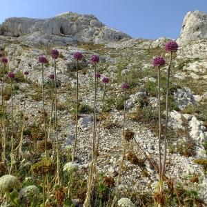 - Allium commutatum Guss. [1855]