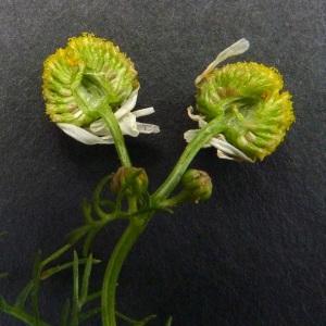 Photographie n°35549 du taxon Matricaria recutita L.