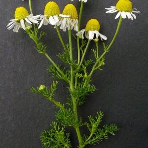 Photographie n°35551 du taxon Matricaria recutita L.