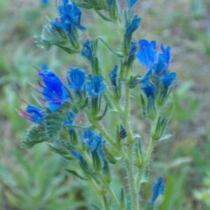 Photographie n°35608 du taxon Echium vulgare L.