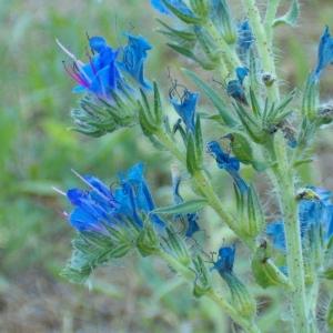 Photographie n°35609 du taxon Echium vulgare L.