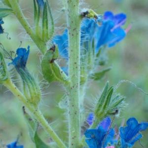 Photographie n°35610 du taxon Echium vulgare L.