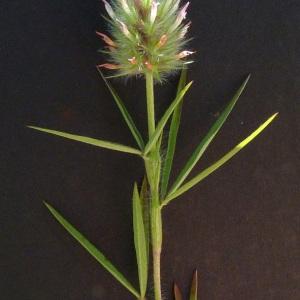 Photographie n°35632 du taxon Trifolium angustifolium L. [1753]