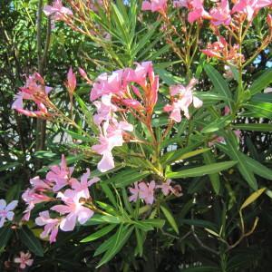 Photographie n°35646 du taxon Nerium oleander L. [1753]