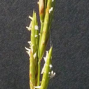 Photographie n°35649 du taxon Brachypodium phoenicoides (L.) Roem. & Schult. [1817]