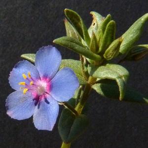 Photographie n°35680 du taxon Anagallis foemina Mill.
