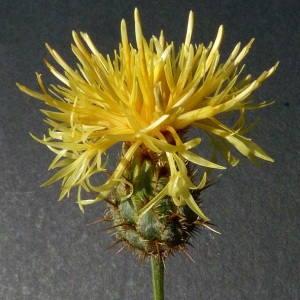 Photographie n°35682 du taxon Centaurea collina L. [1753]