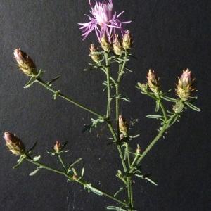 Photographie n°35683 du taxon Centaurea paniculata L.