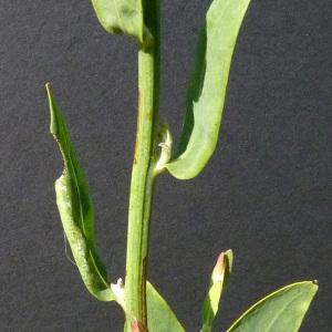 Photographie n°35684 du taxon Chondrilla juncea L. [1753]