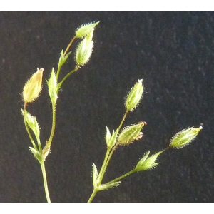 Minuartia hybrida (Vill.) Schischk. (Minuartie intermédiaire)