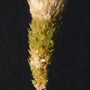 Phalaris paradoxa L. [1763] (Alpiste déformé)