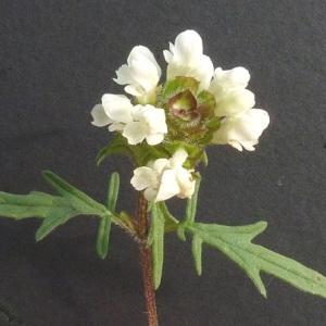 Photographie n°35739 du taxon Prunella laciniata (L.) L. [1763]