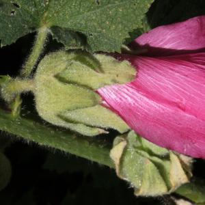 Photographie n°35769 du taxon Alcea rosea L. [1753]